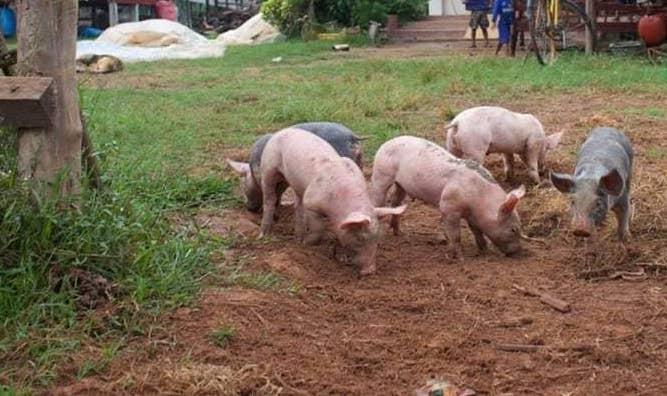 Update varkensproject