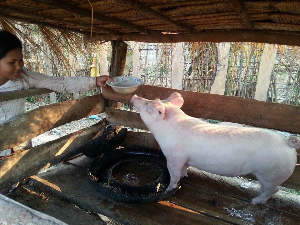 Varkens groeien goed